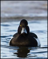 Tufted Duck 2 by JS2010