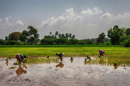 Agriculture in India by oriondesignnorway