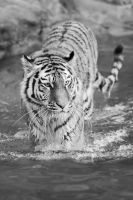 Tiger, Nuernberg by FGW-Photography