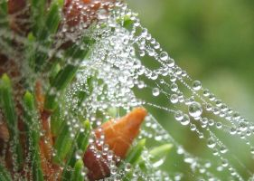 Morning Dew in Spiderweb by Lavendelmond