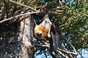 Grey-headed Flying Fox - 01 by shiroang