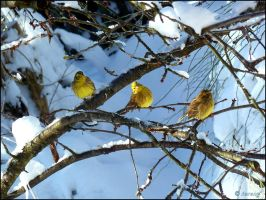 Yellowhammer by Lupsiberg