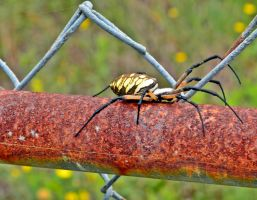 Garden Spider on a Rusty Fence Post by aggie00