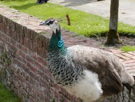 Peacock at Menkemaborg 3 by jxp3397