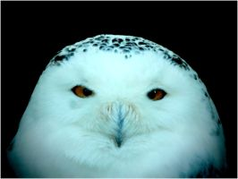 the blues of the snow owl... by 13-septembre