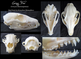 Skull Stock: Grey Fox by Krissyfawx