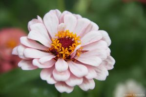 Chrysanthemum by joshification