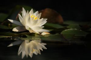 White Water Lily by AlinaKurbiel