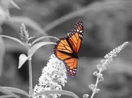 Monarch Butterfly by sking243