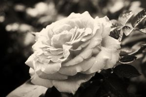 Summer Rose BW by 007Nab