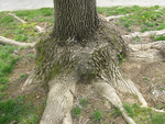 Cool Tree Roots 2 by TheQueenofNerds