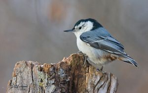 Rotted tree Nuthatch by DGAnder