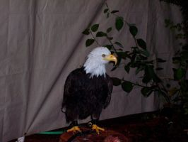 Bald Eagle by Zeds-Stock