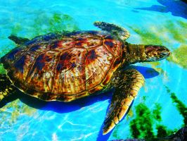 Turtle Turtle by evelynrosalia