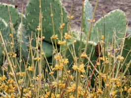 Ephedra and Prickly Pear by ClymberPaddler