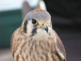 American Kestrel 6 by MaerikDragon