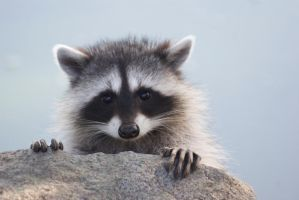 Little Raccoon Baby by SonjaStarke