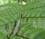 Praying mantis by X-Alex