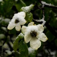 Snow on Dogwood by kayaksailor