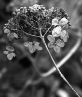 Dried and Withered by flowerhippie22