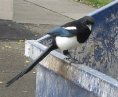 Common Magpie by fixinman