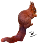 Cut-out stock PNG 33 - red squirrel by Momotte2stocks
