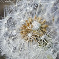 Drops on Dandelion by Hitomii