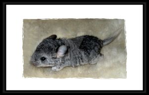 My little Stormy (Chinchilla) by Travail-de-lame