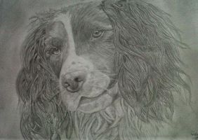 Springer Spaniel .:Pencil:. by Broken-Fairy-Tale