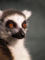 Lemur by pink-kipper