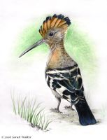 Hoopoe by dreamie