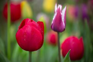 Tulip Time by montygm