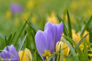 Crocus 1 by ThereseBorg
