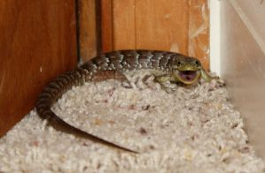 Lizard in the house by calie4ever28