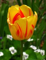 Red-Striped Yellow Tulip by Tranquil-Insanity