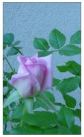 Pink Rose by BlindedVisions