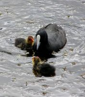 Coot family 2 by SirTimid
