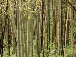 Bamboo Grove by nozominosetsuna