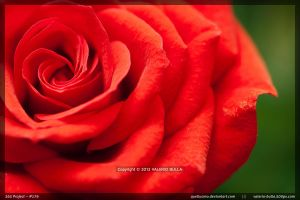 Roses are Red by ValerioBulla
