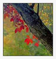 Red leaves.img127, with story by harrietsfriend