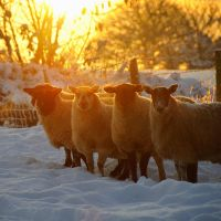 Sheep in the Snow by younghappy