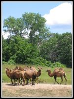 A flock o' camels by midgard