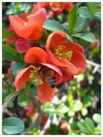 Bee in Red Blossoms by jimwcolllins
