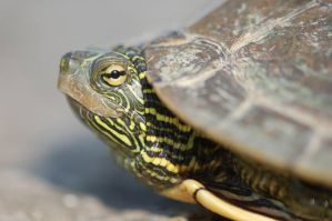 Turtle2 by buckobeck