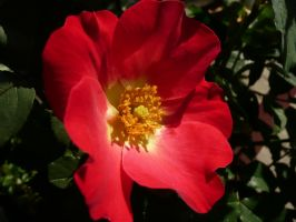 Red Old-Fashioned Rose by Track-Maidens
