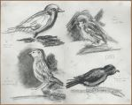 Sparrow studies by Ziannna