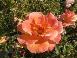 Rose of the Roses by voider00