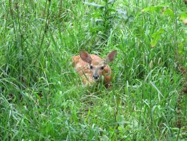 Fawn in Hiding 4 by Windthin