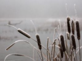 Frosted Cattail by Sabrina7777