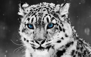 Snow Leopard by leahupaul